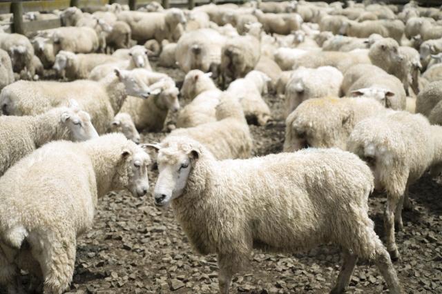 モンゴル人と羊料理
